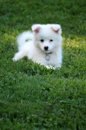 Cute American Eskimo Dog Puppy on Green Lawn