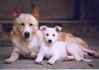 Canaan Puppies