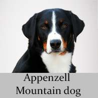 Appenzell Mountain dog