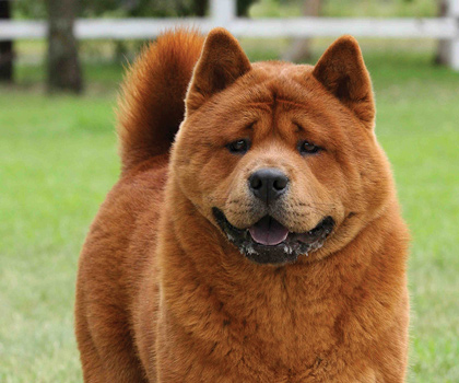chow chow dog lovers directory