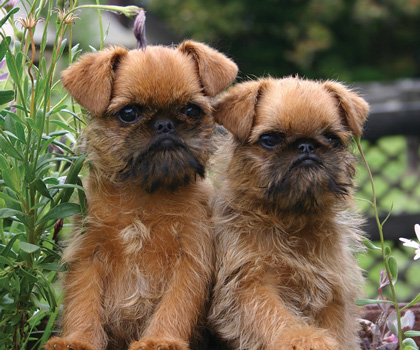 griffon bruxellois dog lovers directory