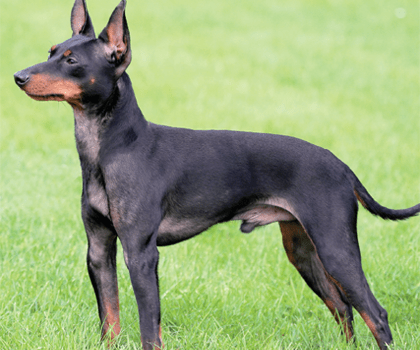 English Toy Terrier Dog Lovers Directory