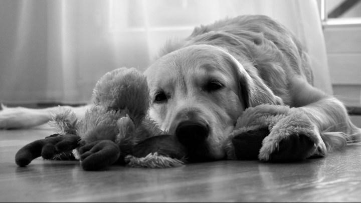 Dogminancia_Perros sentimientos
