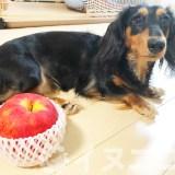 【結論】犬はりんごを食べても大丈夫。【種はNG!好きでも量に注意】