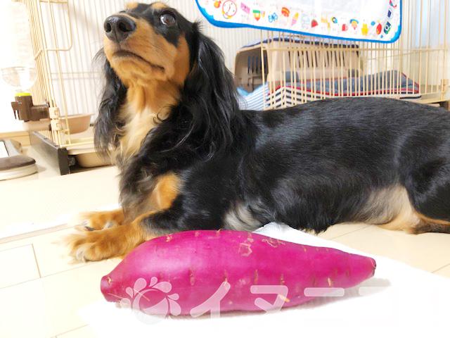 【保存版】犬はさつまいもを食べても大丈夫です。【皮もOK!生はNG】