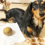【保存版】犬はじゃがいもを食べても大丈夫です。【生、皮、芽はNG】