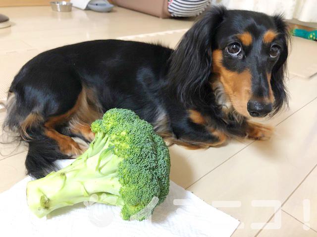 【保存版】犬はブロッコリーを食べても大丈夫です【生も芯もOK】