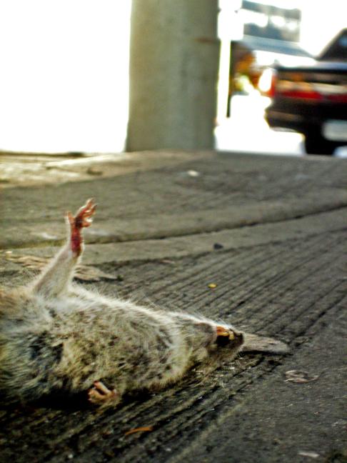 frozen rat under the bqe brooklyn
