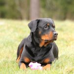 Tips For Raising A Rottweiler Dog What You Need To Know