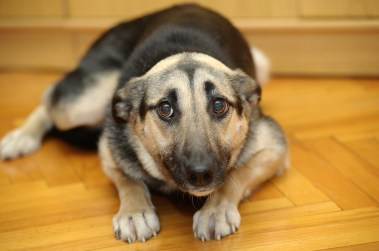 Scared german Shepard mix with ears flat against head and head is lowered. Dog is trying to look as little as possible.