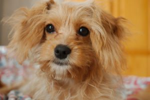 This is a Cavalier King Charles Spaniel Poodle mix that is called a Cavapoo hybrid dog.