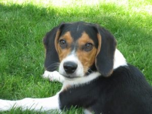 This is a Dachshund and Beagle mix breed dog that is called a Doxle hybrid dog.