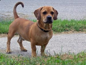 This is a Dachshund Pug mix breed dog that is called a Daug hybrid.