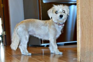 This is a Havanese Chihuahua mix breed dog that is called a Cheenese hybrid dog.