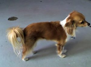 This is a Papillon and Chihuahua mix breed dog that is called a Chion hybrid.
