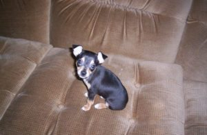 This is a Rat Terrier Chihuahua mix breed dog that is called a Rat-Cha hybrid dog
