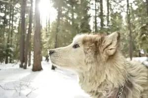 This is an Alaskan Malamute Wolf mix breed dog - a Wolamute dog?
