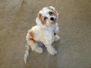 This is a Poodle Cocker Spaniel mix breed dog that is called a Cockapoo hybrid dog