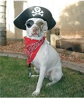 pirate-dog-costume2.jpg