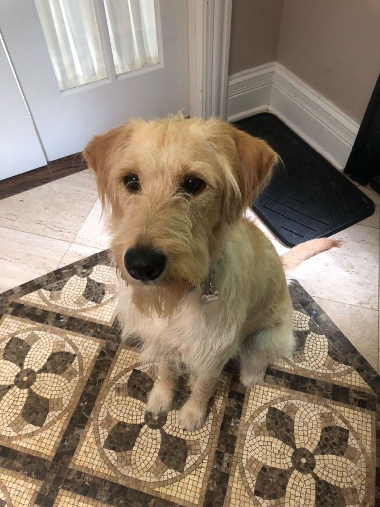 Waffles the labradoodle
