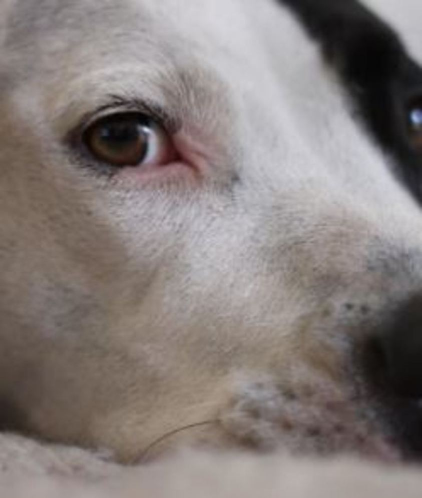 My Dog Has Secondary Glaucoma, What Does it Mean? - Dogs ...
