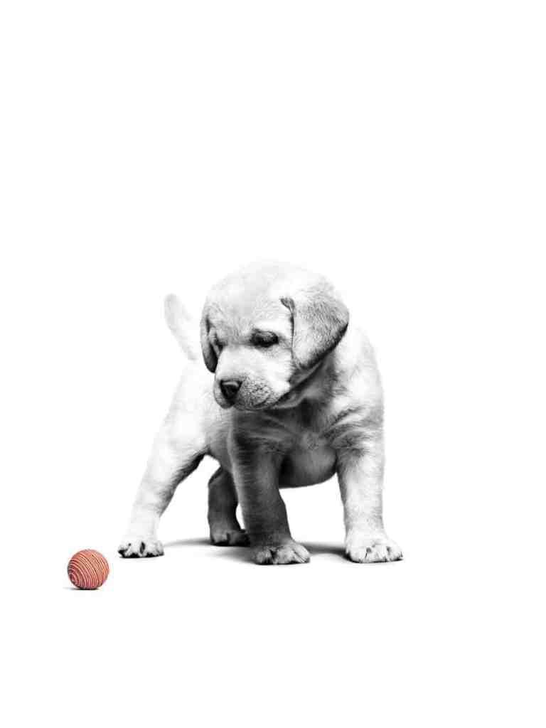 גור כלבים מסתכל על כדור