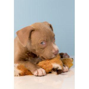 Calm Ct Lab Mix Puppies Sale Nh Sale Shepherd Lab Mix Puppy