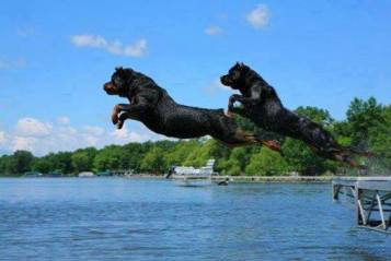 Rottie Jumps
