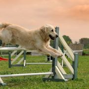 Retriever agility jump