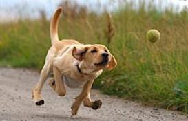 labrador chasing ball