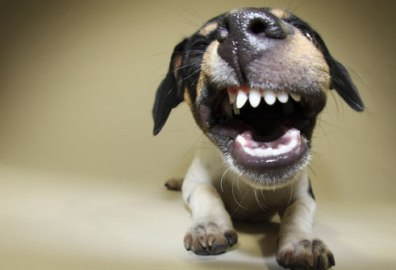 puppy with cute snarl
