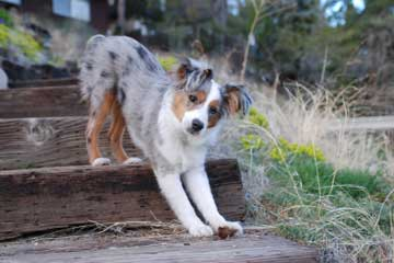 aussie pup on stairs