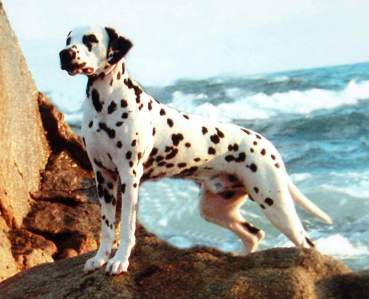 Dalmation on rocks