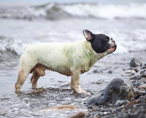 pug-at-beach
