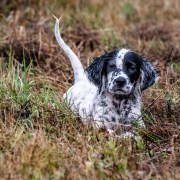 setter puppy in grass
