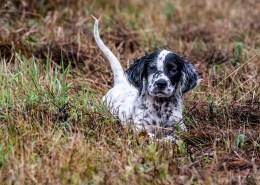 setter puppy in grass