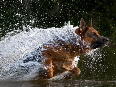 GSD running in water