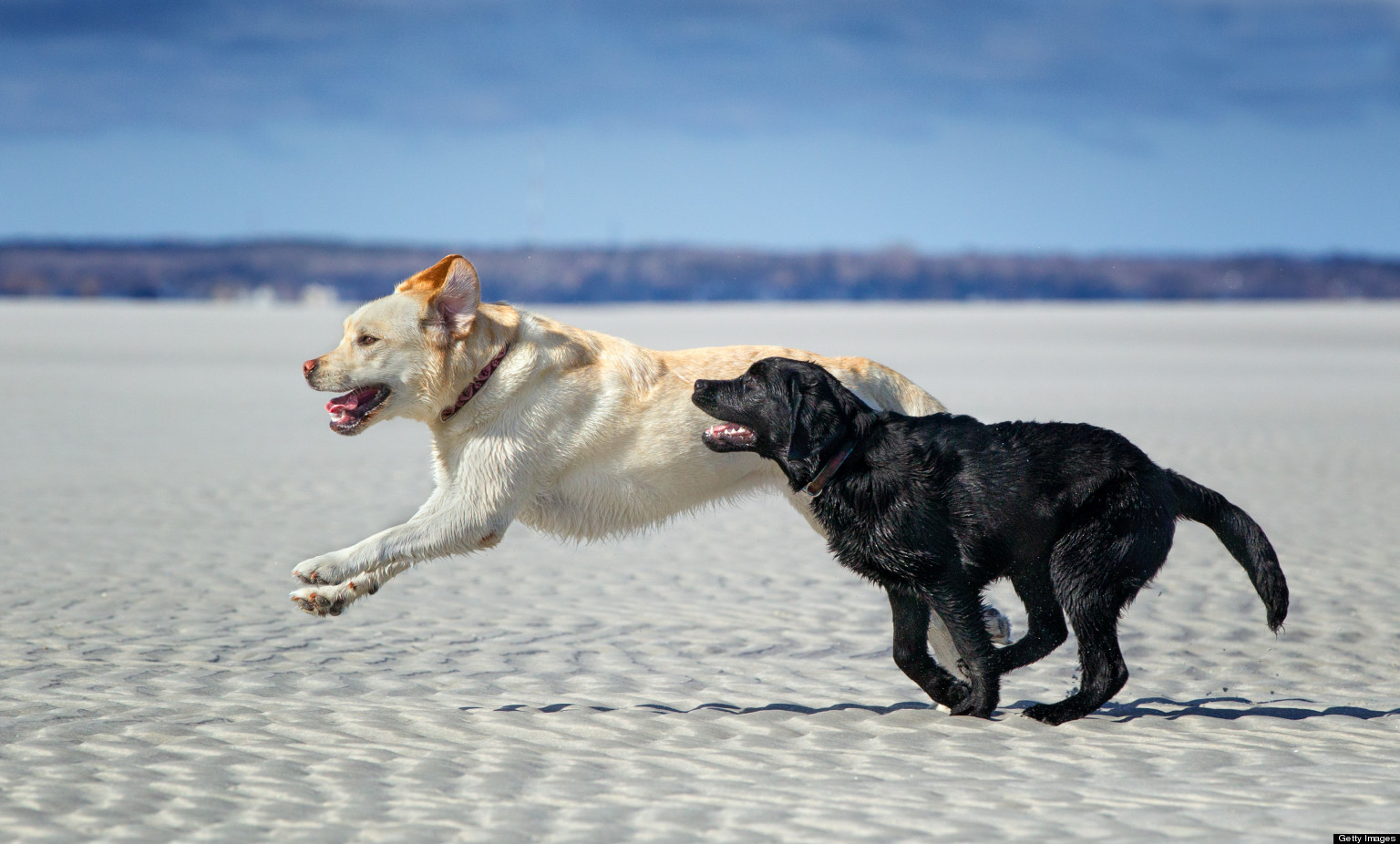 Black and Tan Labs running on the beach