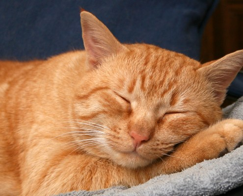 Sleeping ginger cat