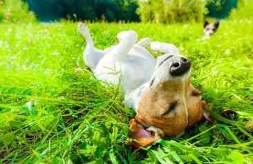 Dog Siesta At Park