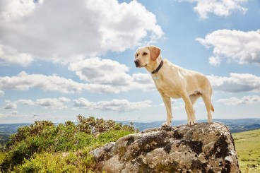 Dog Solutions - Labrador standing on a rock
