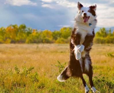 happy kelpie jumping in field