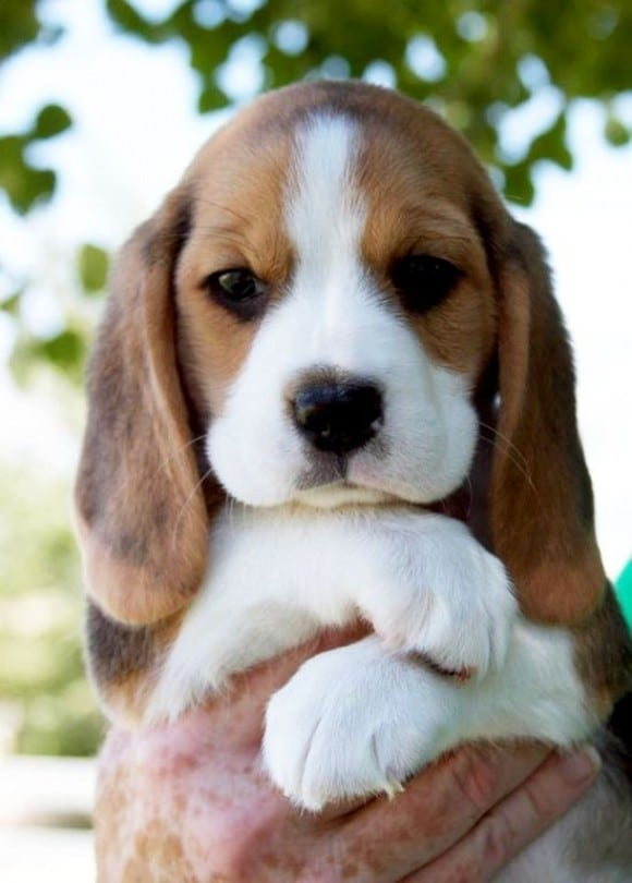 Top 10 Cutest Puppy Breeds 2020 Dog Supporters