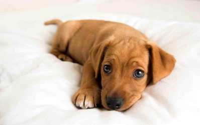 Top 10 Cutest Puppy Breeds 2019 4
