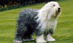 english sheep dog