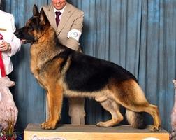American German Shepherd Show Line