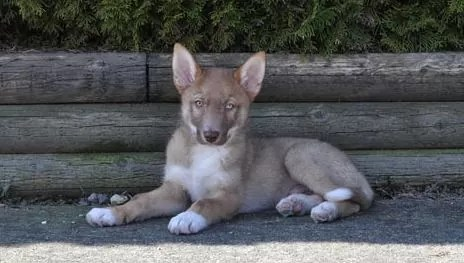 Coydog – Dog Breed Information size, temperament