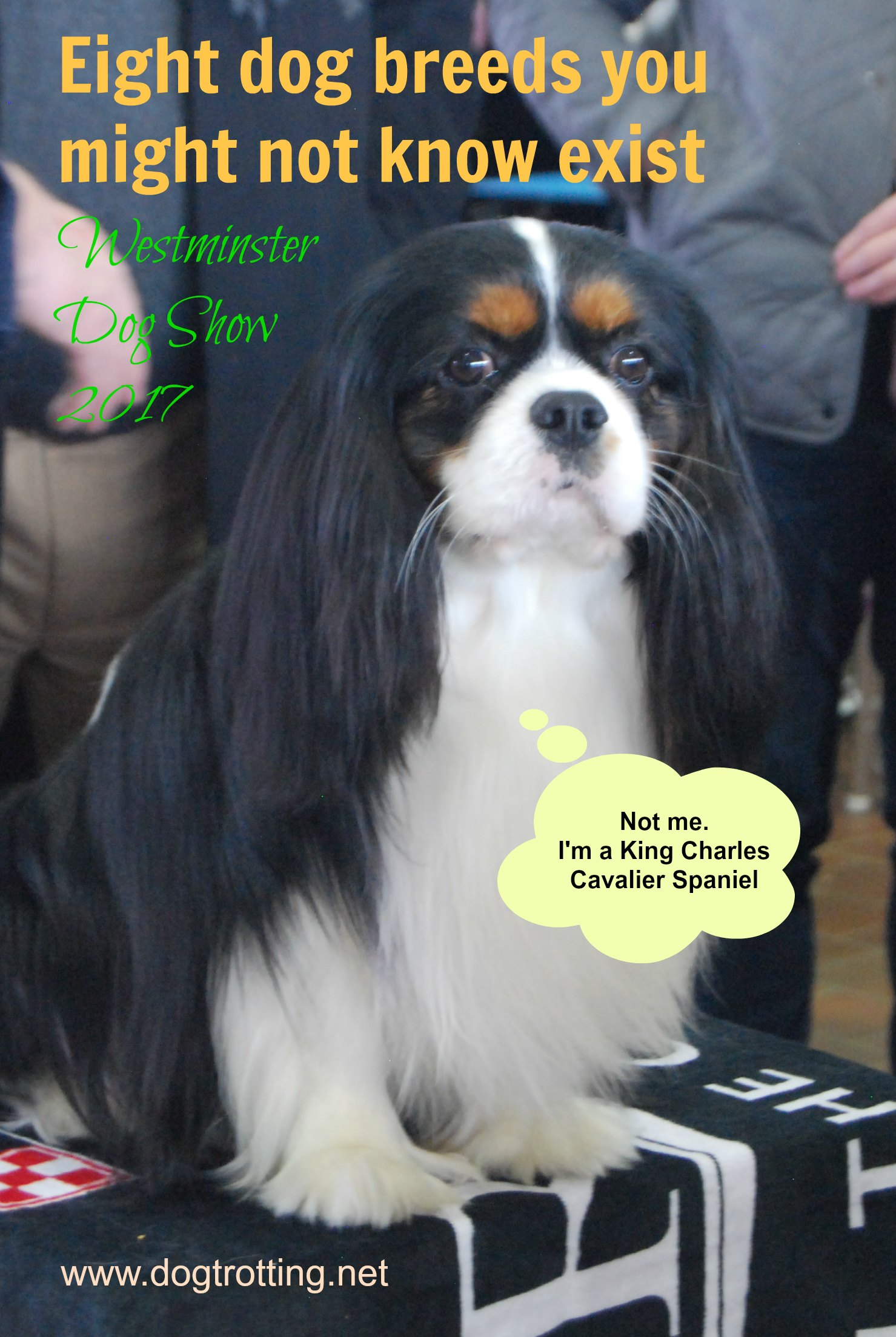Travel NYC: 8 Breeds I didn't know existed at the Westminster Dog Show 2017 (Part IV)