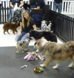 Breeders showcasing Border Collies and Australian Shepherds