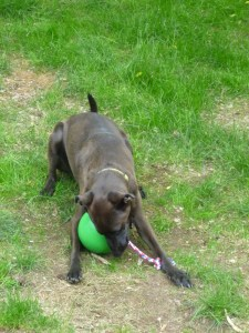 dog playing with Tuggo toy